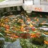 苏州市单位景观鱼池净化系统!解决水浑浊。水发绿问题!
